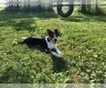 Small #2 Australian Cattle Dog-Jack Russell Terrier Mix