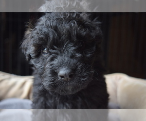 Bouvier Des Flandres Puppy for sale in ASHTABULA, OH, USA