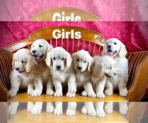 Golden Retriever Puppy for Sale in RUSSIAVILLE, Indiana USA