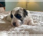 Puppy 3 ShihPoo-Zuchon Mix