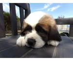AKC Registered Saint Bernard