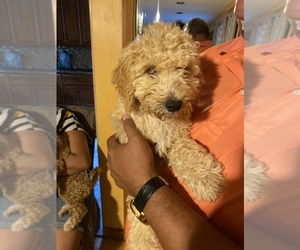Goldendoodle (Miniature) Puppy for sale in STATEN ISLAND, NY, USA