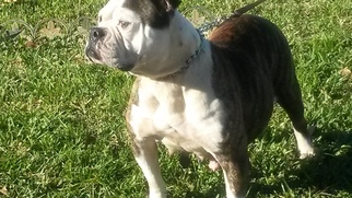 American Bulldog Puppy For Sale in HOLLYWOOD, FL