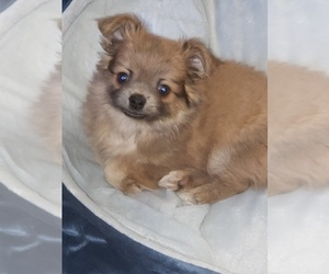 Shiranian Puppy for sale in PENFIELD, NY, USA