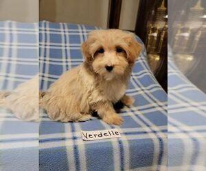Maltipoo Puppy for sale in CLARKRANGE, TN, USA