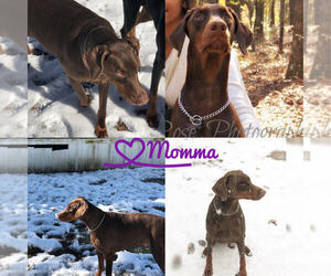 Mother of the Doberman Pinscher puppies born on 08/02/2019