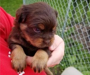 Carlin Pinscher Puppy for Sale in COBB, Wisconsin USA