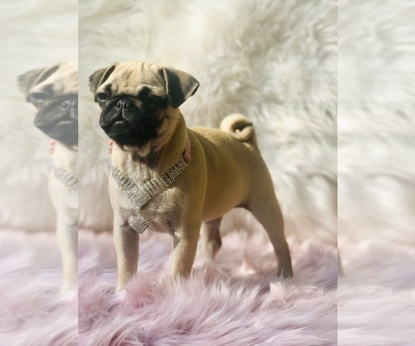 Medium Photo #11 Pug Puppy For Sale in CANTON, CT, USA