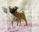 Small Photo #11 Pug Puppy For Sale in CANTON, CT, USA