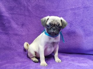 Pug Dog For Adoption in SAINT PAUL, MN, USA