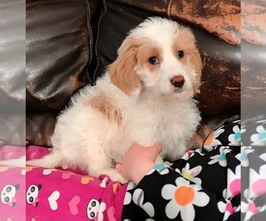 Goldendoodle-Poodle (Standard) Mix Puppy for sale in STAFFORD SPRINGS, CT, USA