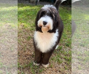 Sheepadoodle Puppy for Sale in HOLLYWOOD, Florida USA
