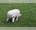 Small #3 Norwegian Elkhound