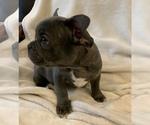 Small #18 French Bulldog