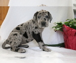 Small #3 Great Dane