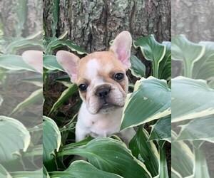 French Bulldog Puppy for sale in CLARE, IL, USA