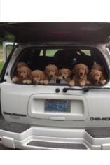 Golden Retriever Puppy For Sale in CRANSTON, RI