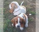 Image preview for Ad Listing. Nickname: 2 Basset Males