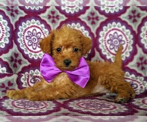 Poodle (Toy) Puppy for sale in KINZERS, PA, USA