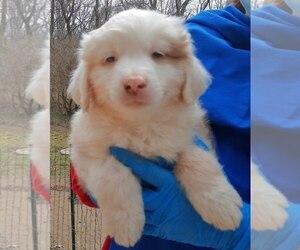 Miniature Australian Shepherd Puppy for Sale in HILLIARD, Ohio USA
