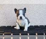 Small Photo #3 French Bulldog Puppy For Sale in HESPERIA, CA, USA