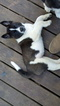 Akita Puppy For Sale in FREEPORT, NY,