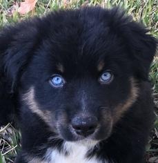 Australian Shepherd Puppy For Sale in SAINT JOHNS, FL, USA