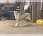 Small #6 Great Dane-Labrador Retriever Mix