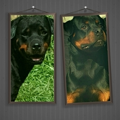 Rottweiler Puppy For Sale in MIAMI, FL