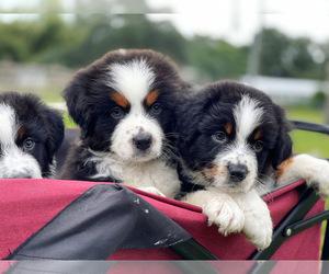 Australian Shepherd Puppy for Sale in WESLEY CHAPEL, Florida USA