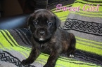 Mastiff Puppy For Sale in CLEARFIELD, UT
