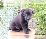 Small #1 Akita-Labrador Retriever Mix