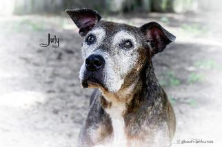 July - American Staffordshire Terrier / Pit Bull Terrier / Mixed Dog For Adoption