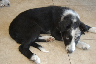 Border Collie Puppy For Sale in ORLANDO, FL