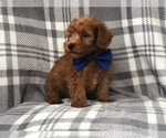 Small Photo #7 Shih Tzu-Yorkie-Poo Mix Puppy For Sale in LAKELAND, FL, USA