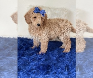 Goldendoodle (Miniature) Puppy for sale in KISSIMMEE, FL, USA