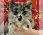 Puppy 7 Alaskan Klee Kai