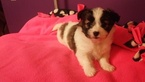 Shiranian Puppy For Sale in UNION CITY, MI, USA