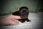 Yorkshire Terrier Puppy For Sale in GRAYSON, LA,