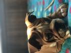 English Bulldogge Puppy For Sale in REVERE, MA, USA