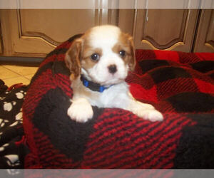 Cavalier King Charles Spaniel Puppy for Sale in DALLAS, Texas USA