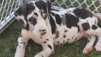 Great Dane Puppy For Sale in BLYTHEDALE, MO,