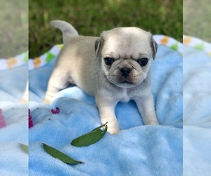 Pug Puppies for Sale in USA, Page 1 (10 per page) - Puppyfinder com