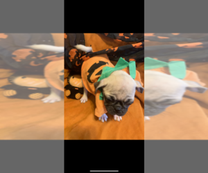 Pug Puppy for sale in FALMOUTH, VA, USA