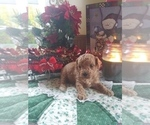 Puppy 1 Cavapoo-Poodle (Miniature) Mix