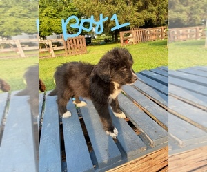 Aussiedoodle Dog for Adoption in MIDDLETOWN, Ohio USA