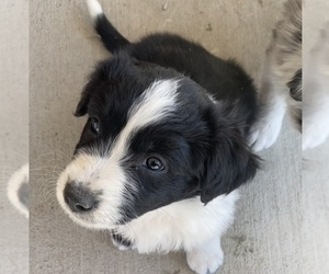 Border-Aussie Puppy for Sale in PUEBLO, Colorado USA