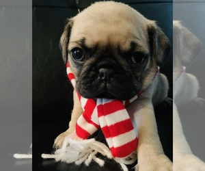 Pug Puppy for Sale in BEACH CENTER, California USA