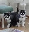 Siberian Husky Dog For Adoption in ALDIE, VA, USA