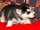 SZXD Blue eyes Siberian Husky Pups